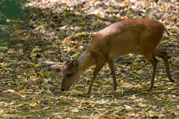 Red forest duiker looking for food in the shade of a tree