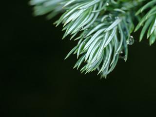 Macro Photo of Juniperus squamata or Himalayan juniper Isolated on Background