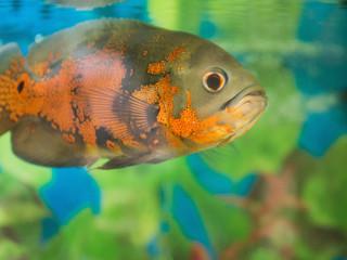 Bright Oscar Fish