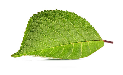 Cherry leaf isolated on white background Clipping Path
