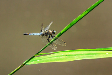 Sitting brown dragonfly