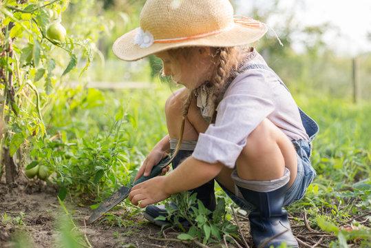 Girl harvesting tomato during fall gardening