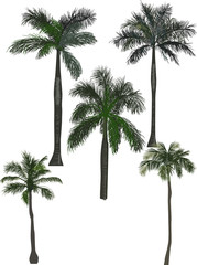 five green high palm trees isolated on white
