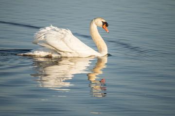 Swan, Cygnus