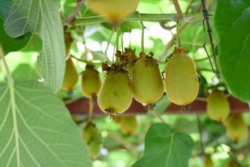 Green kiwi fruit on Actinidia Issai tree. Kiwi fruit on the branch