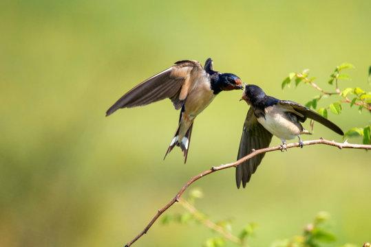 Barn swallow (Hirundo rustica) feeding her nestling in flight