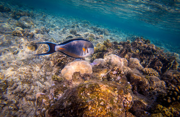 Sohal surgeonfish (Acanthurus sohal) in the Red Sea, Egypt..