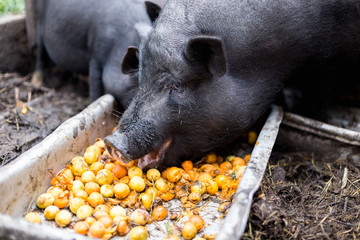 Vietnamese pigs eat apricots from the trough
