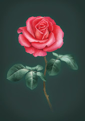Watercolor illustration of a rose flower. Perfect for greeting cards