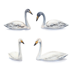 Watercolor illustrations of white mute swan