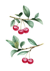 Watercolor illustration of cherry.