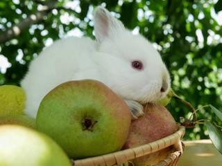 Polonne / Ukraine - July 19 2018: Rabbit and pears