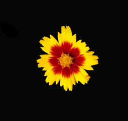 Bronze and Yellow Coreopsis flower centered on a dramatic black background