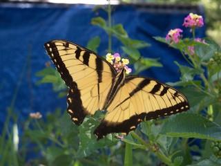 Large yellow swallowtail butterfly on wild lantana flowers