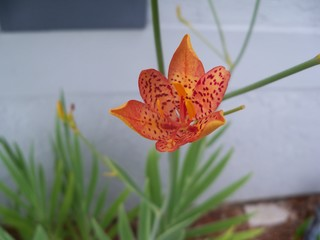 Orange with red spots blackberry lily flower