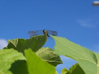 Dragonfly atop green leaves against a blue sky