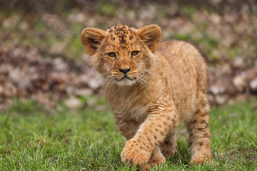 Fototapete - Baby lion in grass