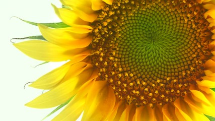 Fotoväggar - Sunflower isolated on white background. Blooming sunflower opening closeup. Timelapse. 3840X2160 4K UHD video footage