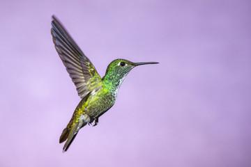 Hummingbird in Flight - Versicolored Emerald (Amazilia versicolor) in Iguazu Falls, Brasil - Argentina major Touristic Destination