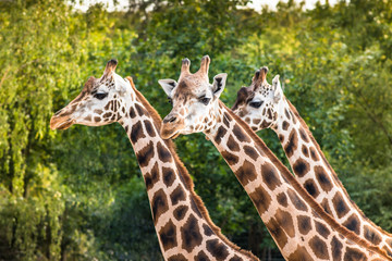 Three cute walking giraffes (Giraffa Camelopardalis) portrait closeup isolated on leafy forest green background. Heads and long necks curiously looking into camera. Nature landscape layout wallpaper