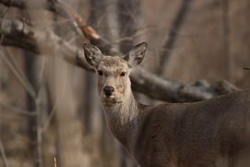 Yezo sika deer's closeup