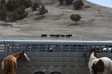 A small herd of Buffalo run past horse trailer used by Fort Laramie treaty riders along the Sage Creek Road in the Badlands National Park outside of Wall, South Dakota