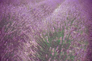 Beautiful lavender field, Long Island New York