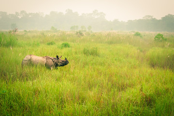 Wild endangered one-horn rhinoceros grazing in a grass field in Chitwan National Park, Nepal, during an elephant safari for tourists.