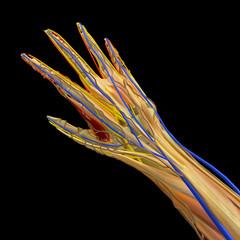 Anatomia interna di una mano, sezione 3d. Vene muscoli ed ossa di una mano. 3d rendering