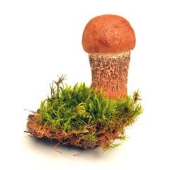 leccinum quercinum mushroom