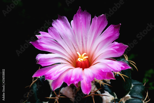 A Big Beautiful Pink Flower Of Cactus Which Latin Name Is