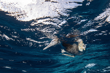 Brown Booby hunting underwater, Puntarenas, Costa Rica