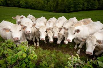 vache troupeau charolaise tête alignement ligne champs campagne bovin élevage ferme viande