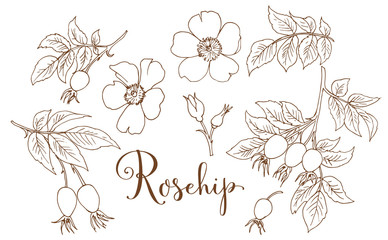 Collection of hand drawing rosehip