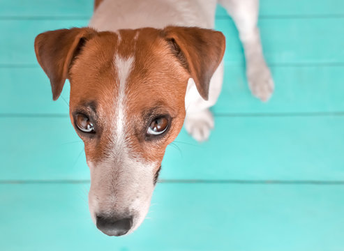 Close-up portrait of curious cute small dog Jack russell sitting on green blue wooden floor and lookig upwards in to camera. A picture of a dog from above