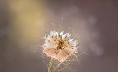 Blume - Jungfer im Grünen -Nigella damascena