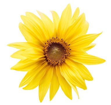 Yellow flower on white background