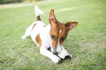 Happy Jack Russell Terrier puppy playing a ball in the summer park.