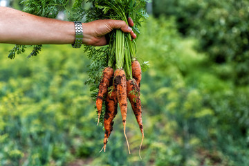 A man's hand holds a fresh carrot