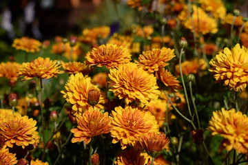 Group of orange chrysanthemums illuminated by the sun in the garden
