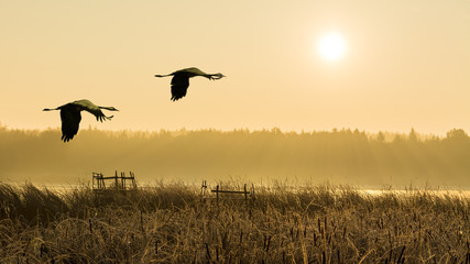 Pair of flying gray herons at sunrise above a water. Ardea cinerea. Couple of wading birds in flight over reeds. Romantic landscape, forest and fog over a pond lit by sun light. Natural background.