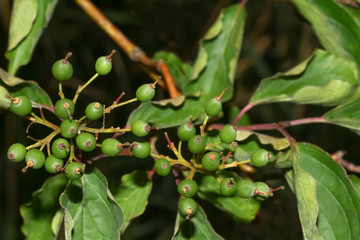 Grüne Früchte des Hartriegels, Cornus sanguinea
