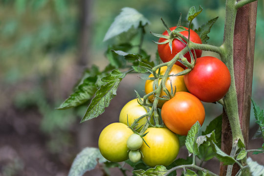 Bunch of red tomatoes at different phases of ripening. Solanum lycopersicum. Close-up of ripe and unripe growing tomato berries. Green bio plant in garden. Blurry background. Great depth of field.
