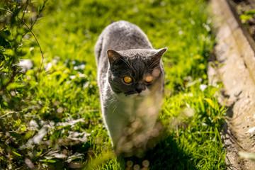 cute british shorthair cat on a grass field