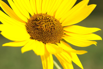 Bright yellow sunflower from close-up.  Wallpaper.