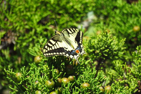 The papilio hospiton, also called Corsican Swallowtail, is a rare butterfly with yellow and black wings, an endemic species from Corsica and Sardinia, Europe