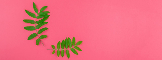 Green rowan tree leaves on bright pink background