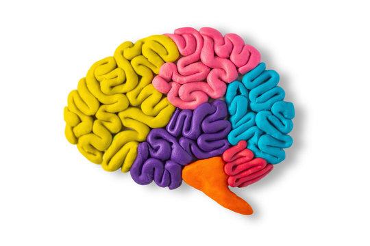 Clay model of human brain anatomy on white background