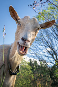 Funny goat between shrubs laughs and say Hey!