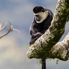 Guereza (colobus guereza) o colobo bianco nero nella foresta in Uganda